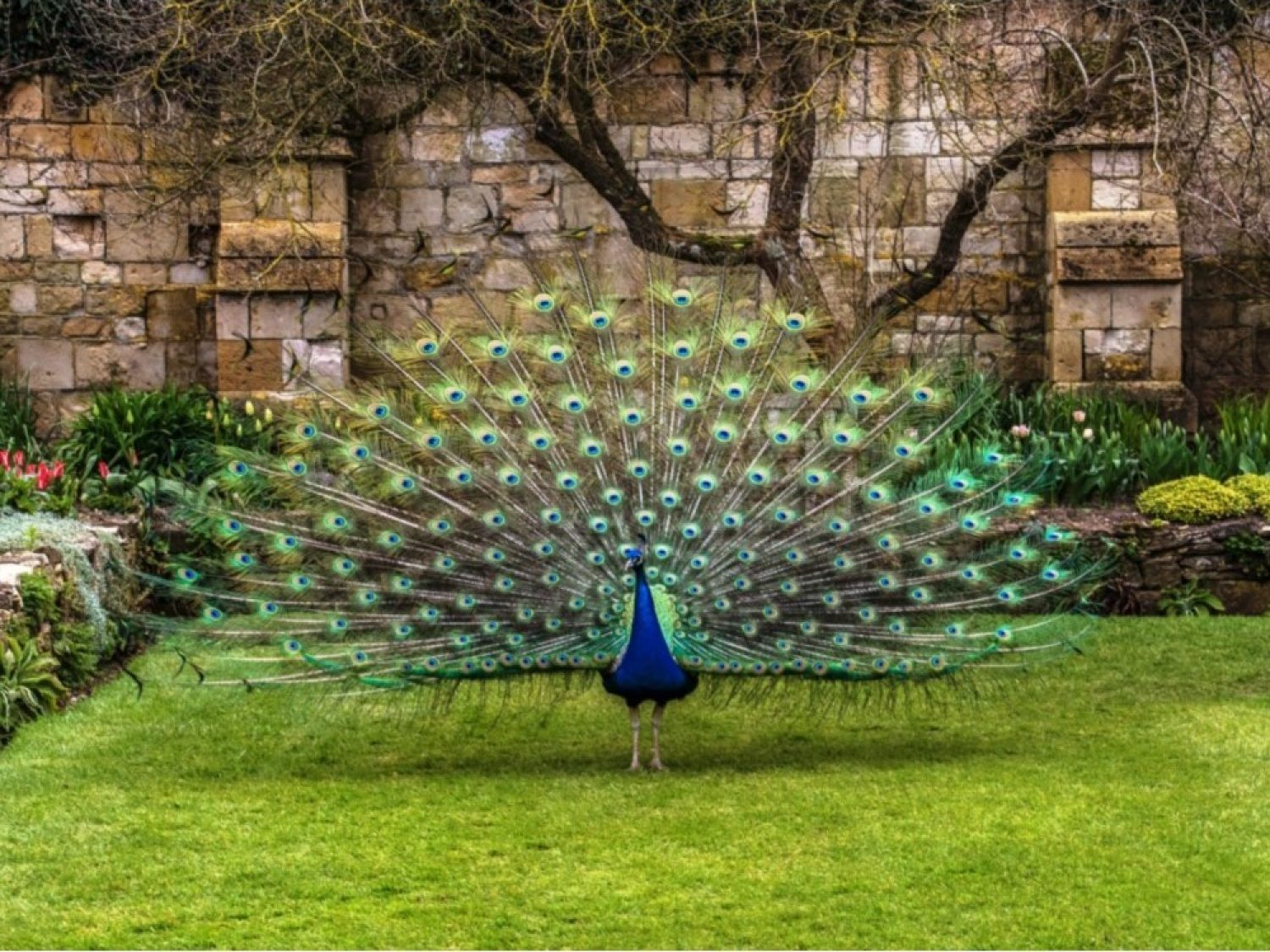 A peacock displays it's plumage on the lawn of the Secret Garden