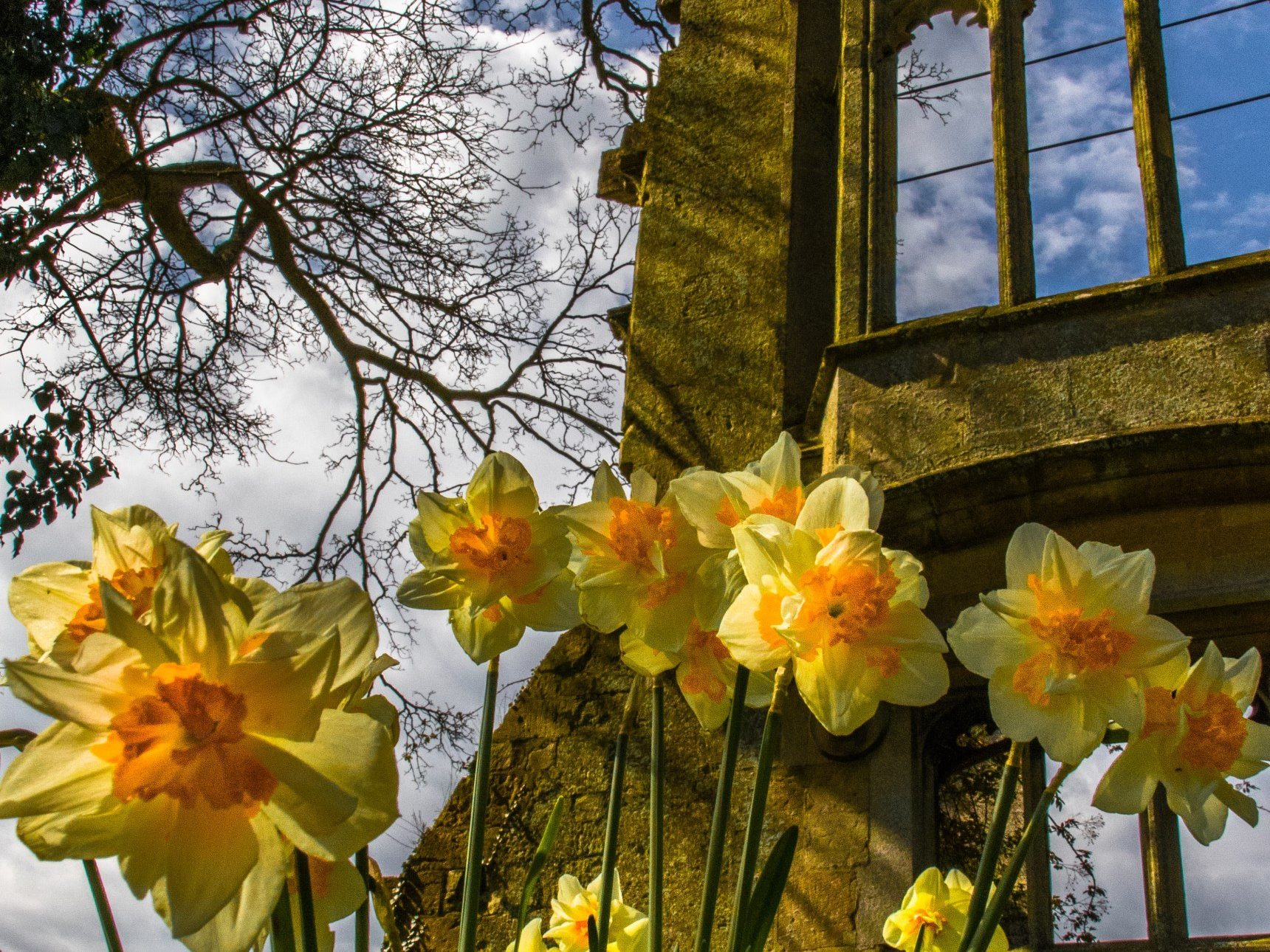 daffodils in front of ruins